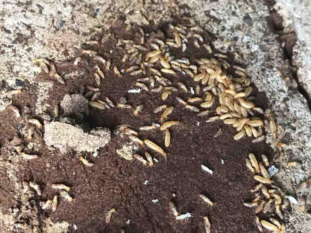 Cabinet Termite Reproductives