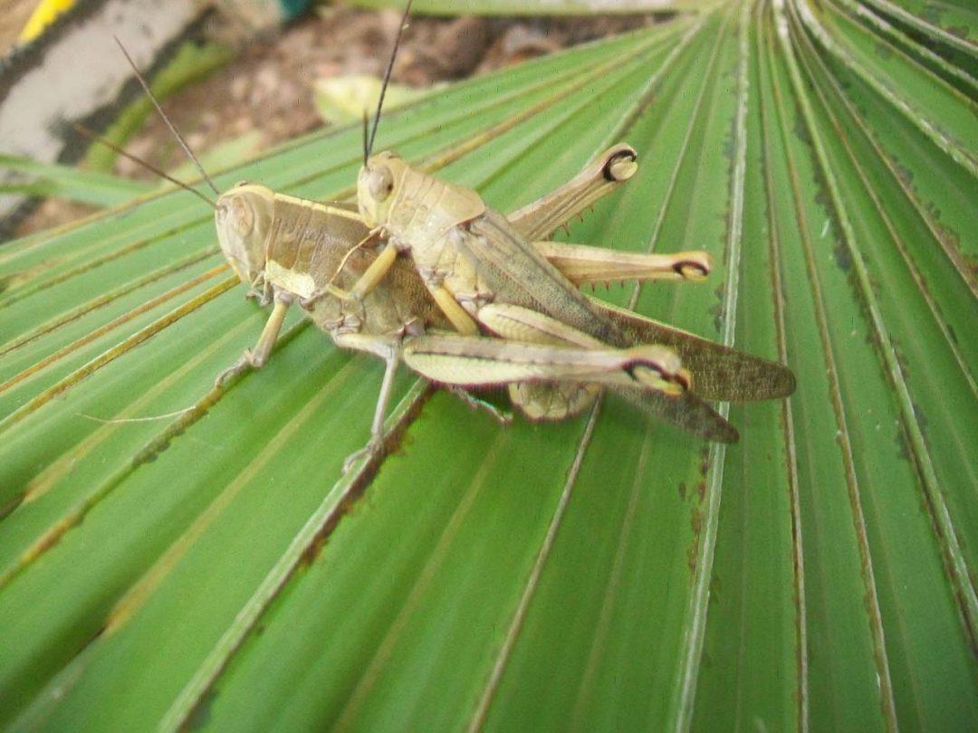 Locusts Mating