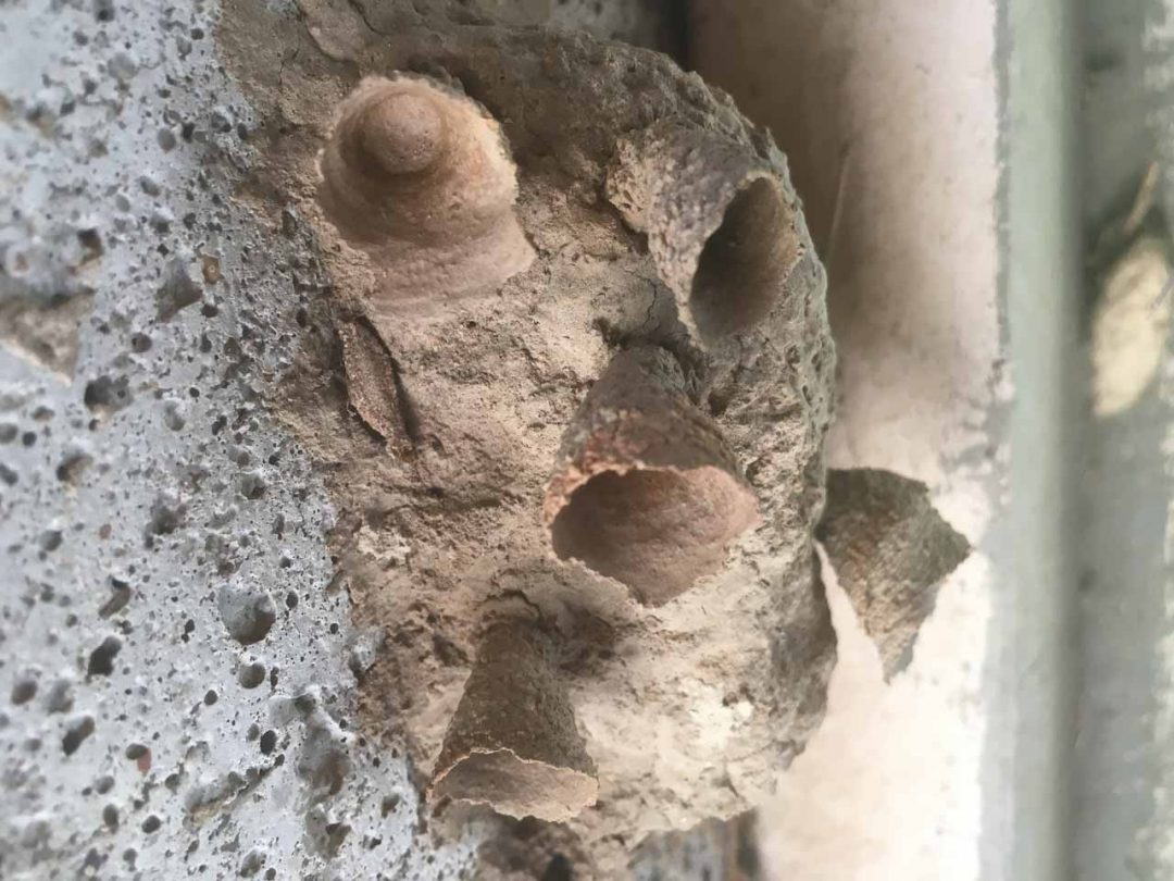 Pottery Mudding Wasp