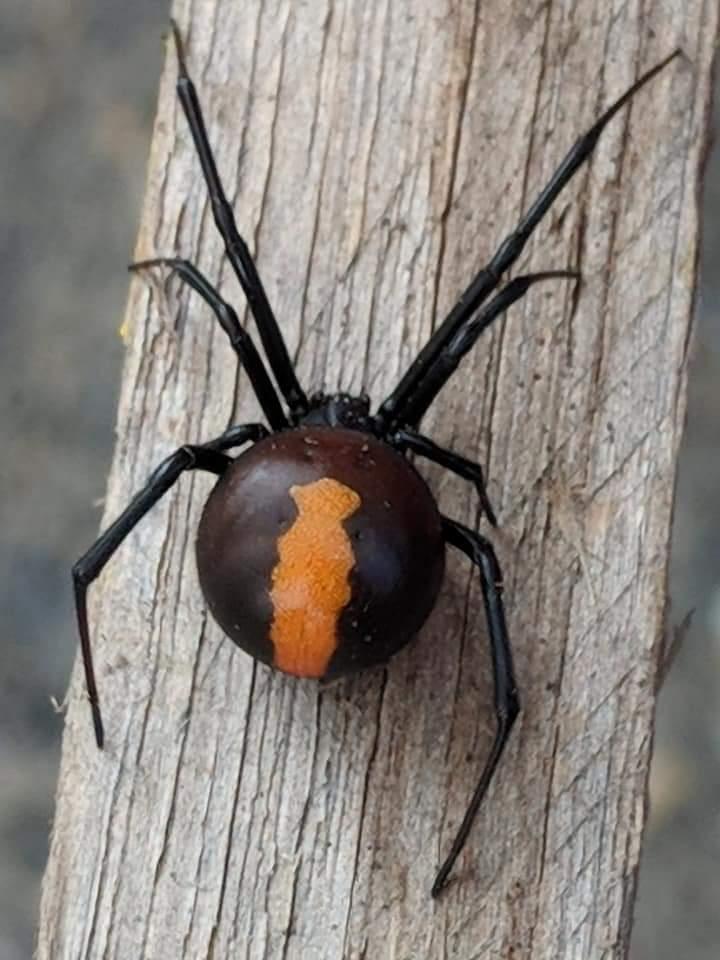 Pregnant redback spider