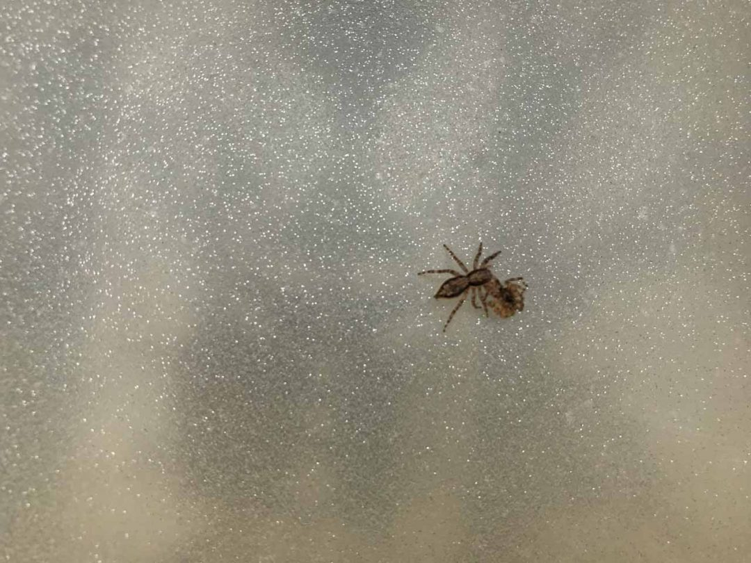 Spider Moulting