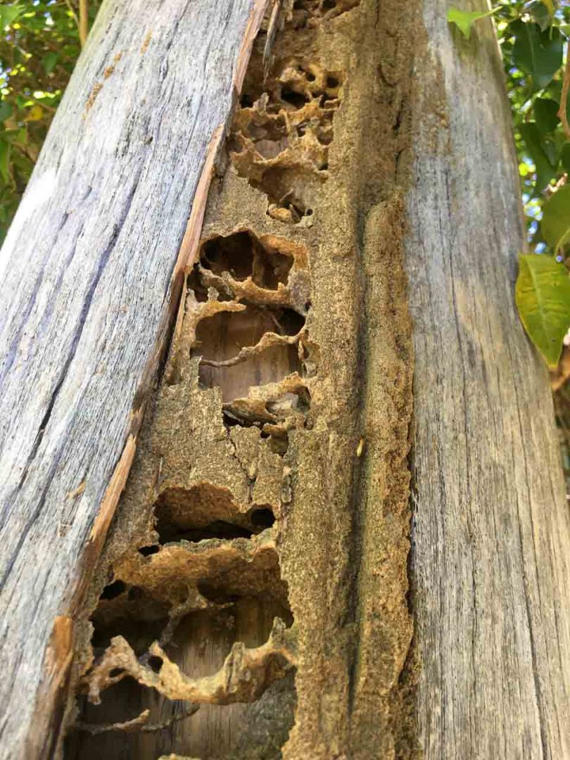 Termite Damage Power Pole