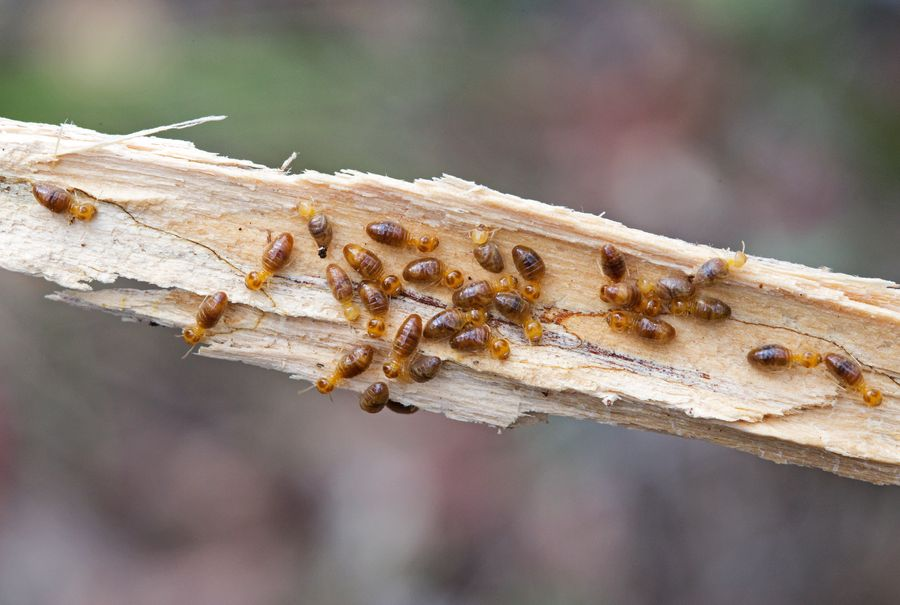 Termite and timber pest control course