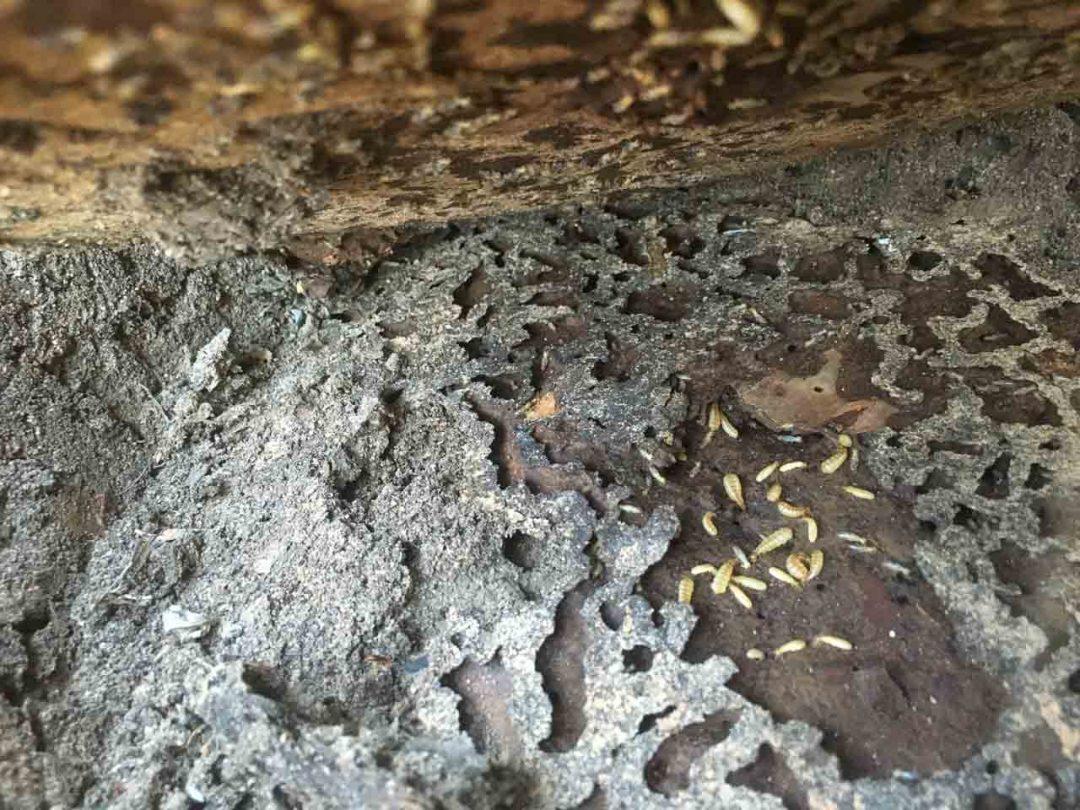 Termites Pot