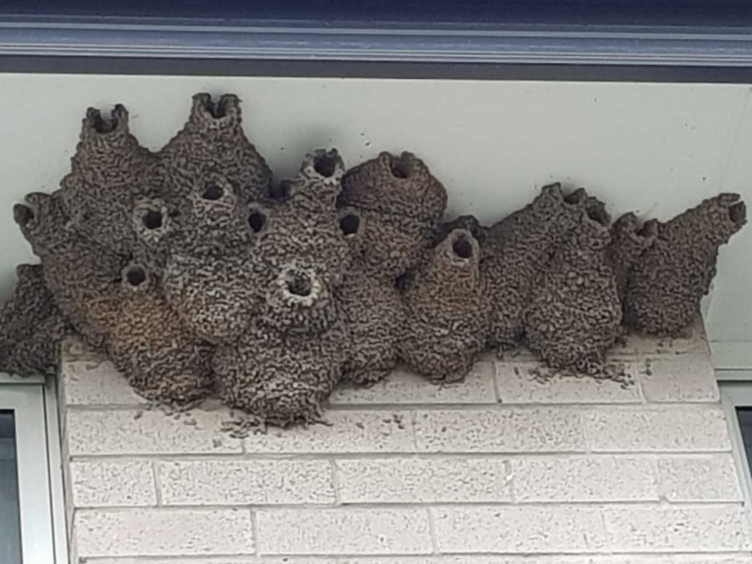 Swallow Nests